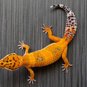 TUG SNOW | JB Leopard Geckos