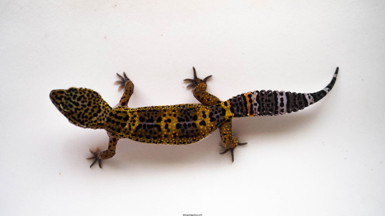 Geckos | JB Leopard Geckos