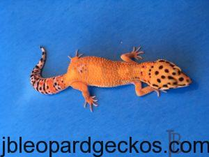 Gecko Alt Tag